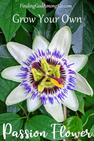 Passion Flower - Grow Your Own