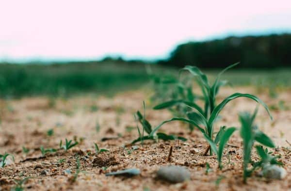 Parable of the Sower Image of plants in field